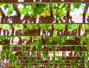 Grape Vine Pergola