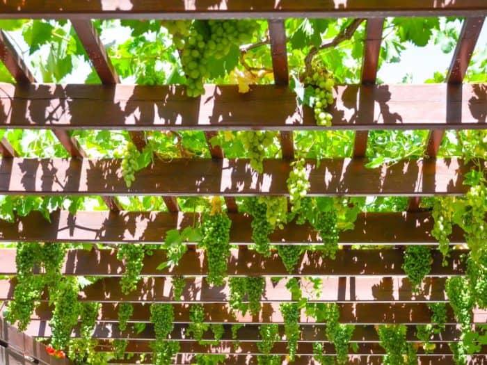 Grape Vine Pergola